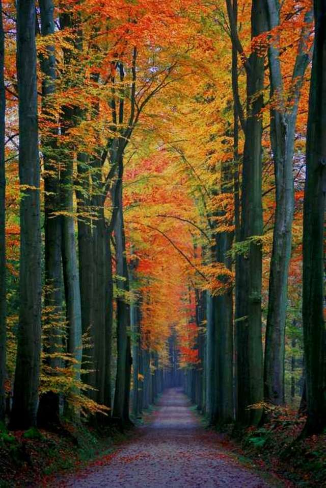 Bukowa aleja w Forêt de Soignes - full image