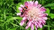 W królestwie piasku - pszczele kukułki