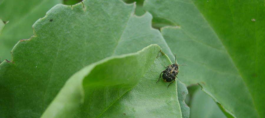 Chrząszcz strąkowca bobowego