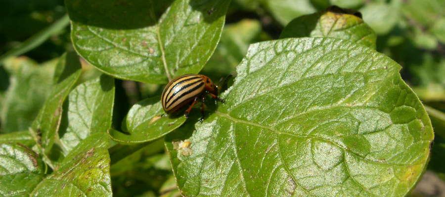 Zabieg chemiczny wykonywać najlepiej kiedy stonka jest w stadium L2 – L3 tj. ok. 4-12 mm wielkości.  Próg ekonomicznej szkodliwości to występowanie 1-2 zimujących chrząszczy na 25 roślin wczesnych odmian ziemniaka lub średnio 15 larw na jednej roślinie