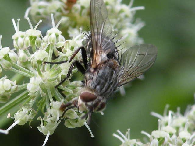 Dlaczego mucha jest włochata?  - full image
