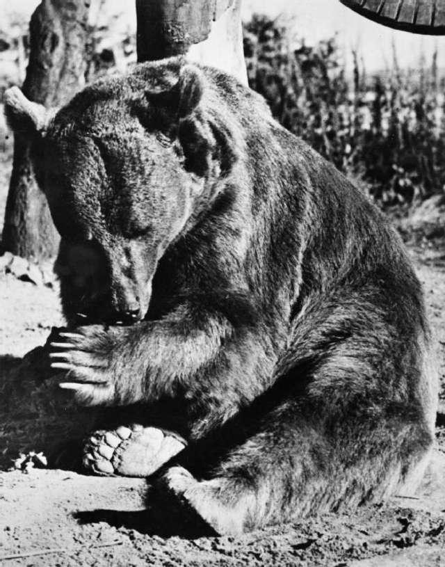 Niedźwiedź, który walczył pod Monte Cassino   - full image
