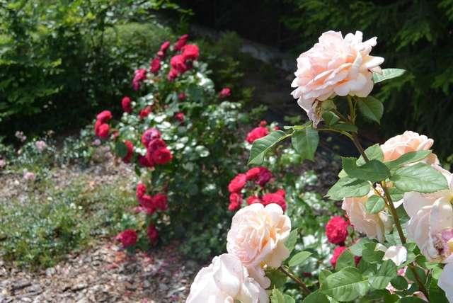 Róże w motylarni - full image