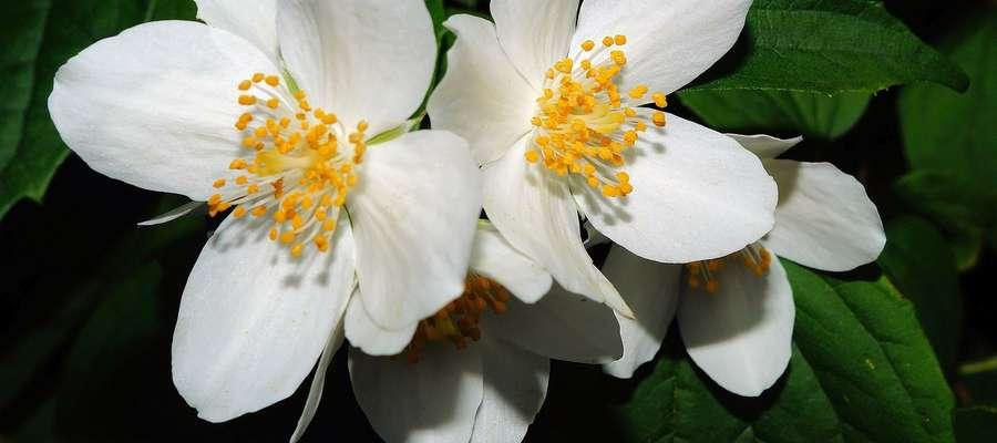 Kwiat jaśminu