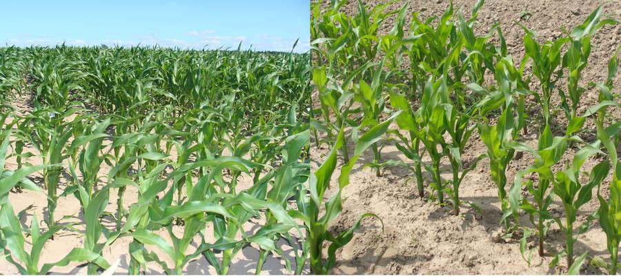 Susza niby jest, ale według przepisów jej nie ma. Kondycja kukurydzy w czerwcu w 2008 i w 2015 roku