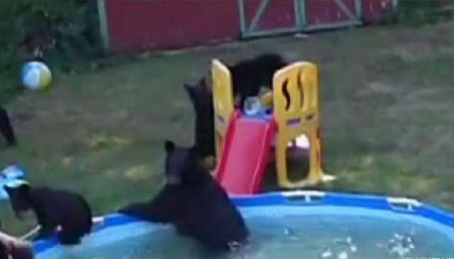 Niedźwiedzica z 5 małymi wpadła na basen - full image