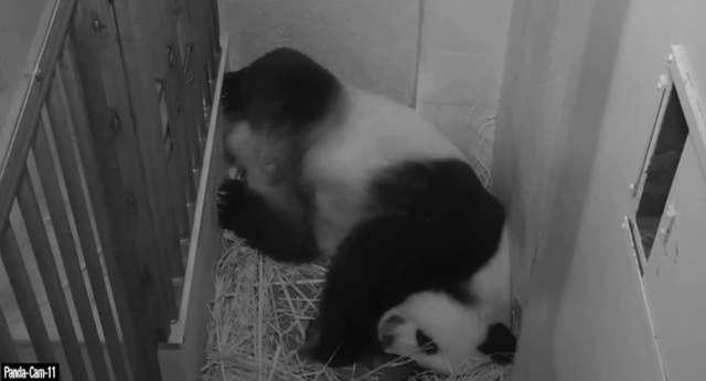 Kamery panda cams zarejestrowały poród pandy wielkiej - full image