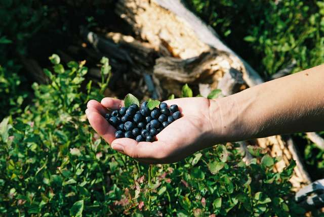 Po powrocie z grzybobrania lub leśnej wędrówki należy dokładnie umyć ręce. Owoce leśne myjemy pod bieżącą wodą  - full image