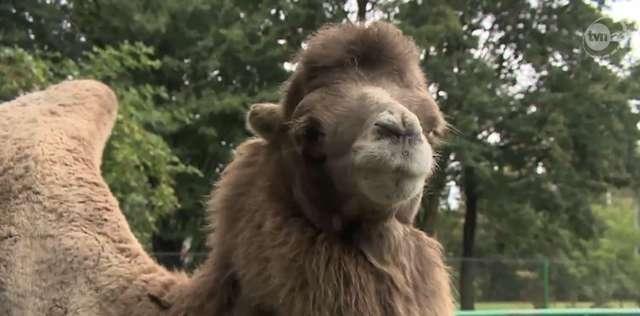 Zoo straciło już czwartego wielbłąda - full image