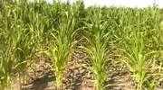 Susza w kukurydzy - co z zagrożeniem przed chorobami i szkodnikami?