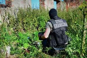 Na łące pod Barcianami zasiali... zioło. SG zabezpieczyła ponad 100 krzaków marihuany