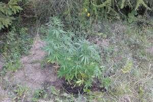 Kolejne dwie plantacje marihuany w powiecie olsztyńskim