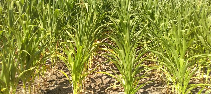 Rośliny wykazujące uszkodzenie tkanek wskutek niedoboru wody i uszkodzeń słonecznych są bardziej podatne na opanowanie przez patogeny
