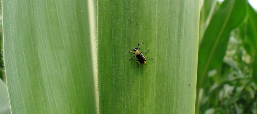 Stonka kukurydziana — chrząszcz
