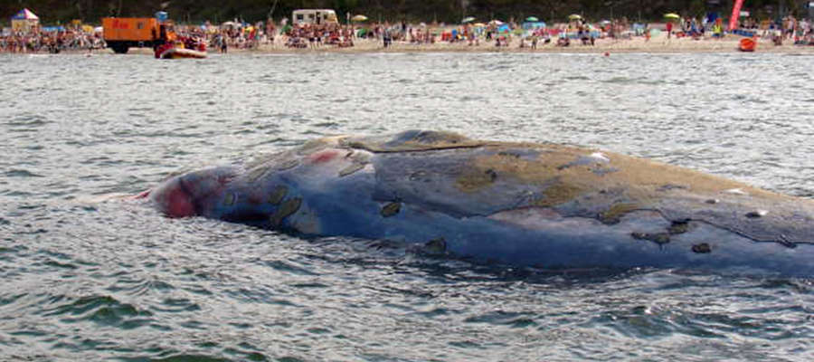 Wieloryb mierzył około 13-16 metrów