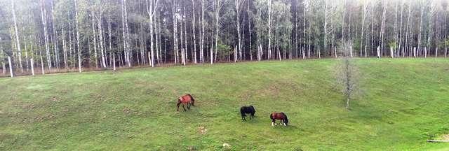 Konie przy drodze Dąbrówka Wielka - Różnowo