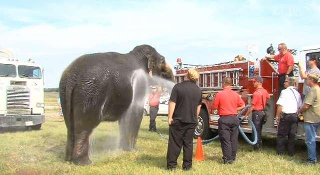 Do ochłodzenia 3 słoni zużyto około 1892 litrów wody. Użyto do tego wozu strażackiego - full image