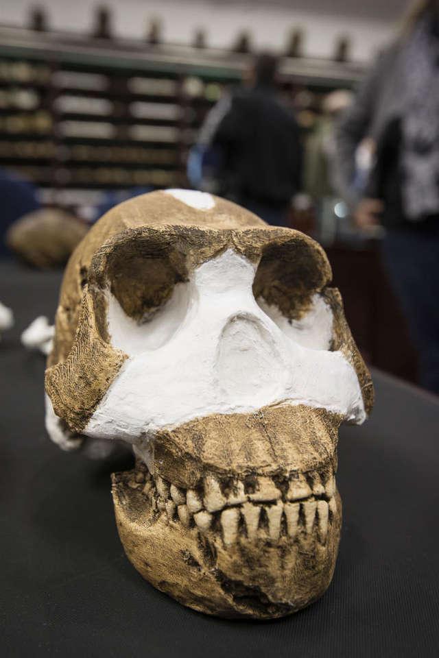 Mózg homo naledi był słabiej rozwinięty od gatunku homo sapiens  - full image