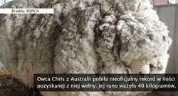 Z odnalezionej po latach owcy zgolono 40 kg wełny