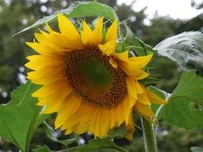Pysznią się żółte słoneczniki, to na powitanie jesieni
