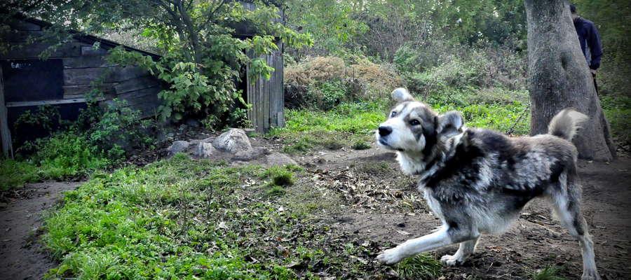 Psy, które uciekły z łańcucha, mogą być groźne