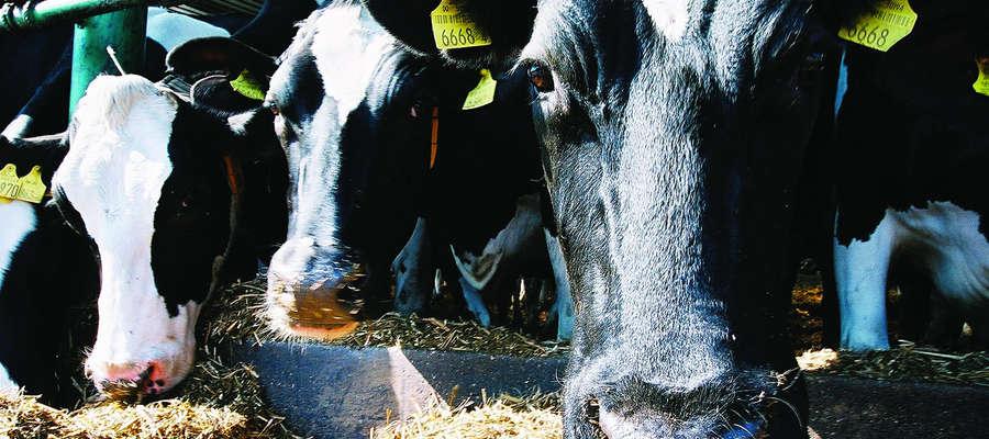 W wyniku suszy właściciele bydła mlecznego borykają się z problemem niedoboru bazy paszowej.