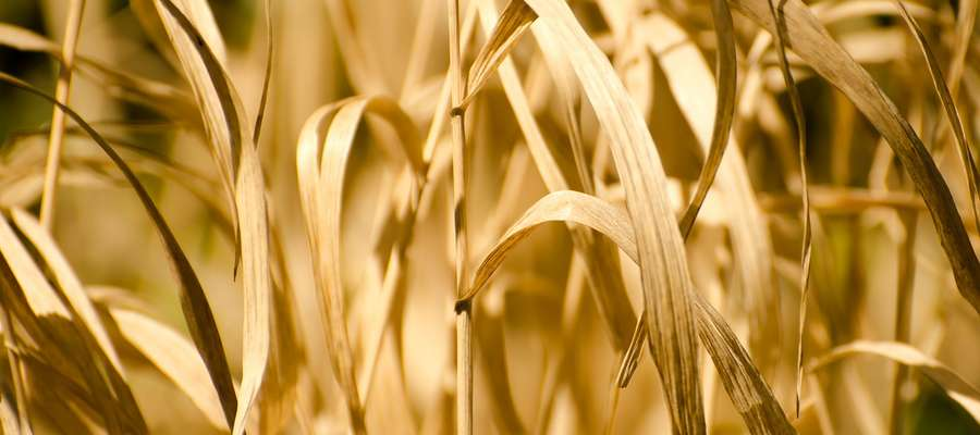 W tym roku susza dotknęła wiele upraw