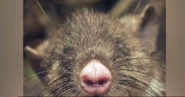 Naukowcy odkryli gatunek szczura ze świńskim nosem - full image