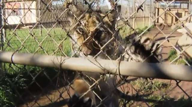 Konkurs na imię tygryska z zoo w San Diego został rozstrzygnięty - full image