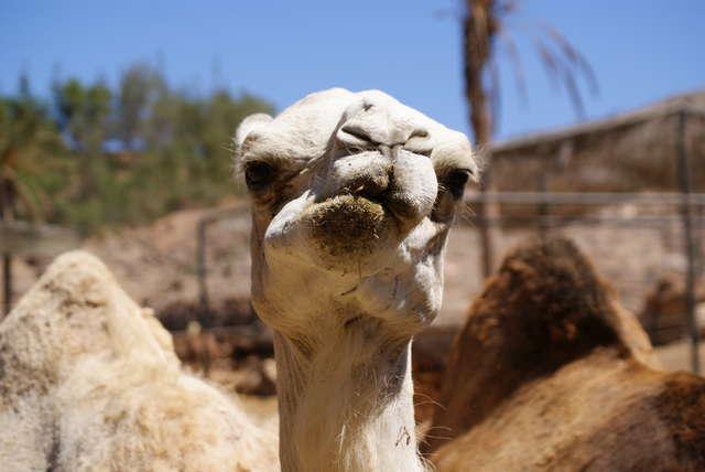W Oasis Parku na Fuerteventurze można spotkać m.in. wielbłądy.