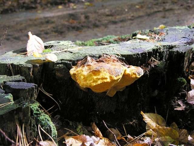 Ocalały owocnik rzadkiego grzyba - full image