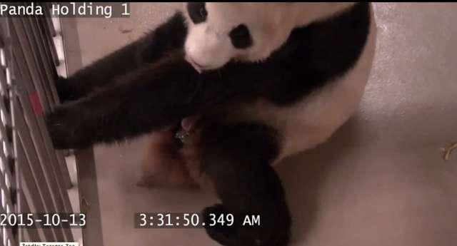 Kamery monitoringu zarejestrowały narodziny pandy - full image