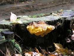 Ocalały owocnik rzadkiego grzyba