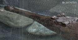 Czy uda się rozmnożyć zagrożone wyginięciem krokodyle gawialowe?