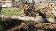 Konkurs na imię tygryska z zoo w San Diego został rozstrzygnięty