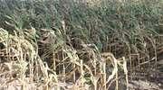Rolnicy z gminy Lubawa nie dostaną odszkodowań za suszę