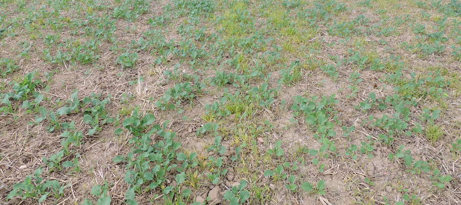 Rzepak ozimy korzystnie reaguje na jesienną regulację zachwaszczenia – widoczne zniszczone samosiewy pszenicy