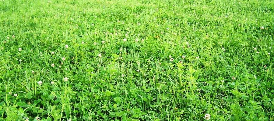 W mieszankach przeznaczonych na pastwiska przemienne odmiany koniczyny białej powinny stanowić od 20 do 30 proc. masy wysiewanych nasion