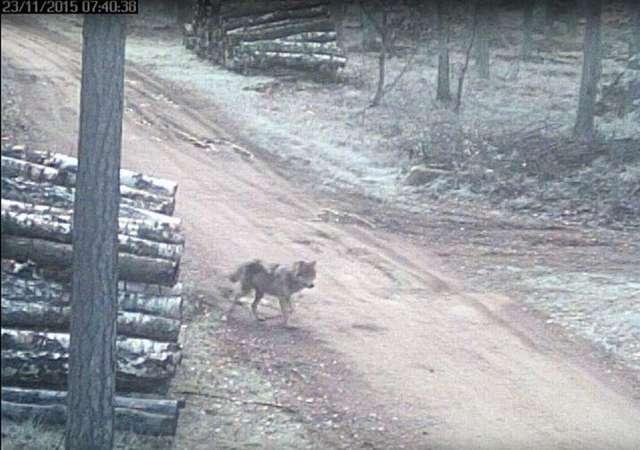 Przybywa wilków na Warmii i Mazurach [FILM] - full image