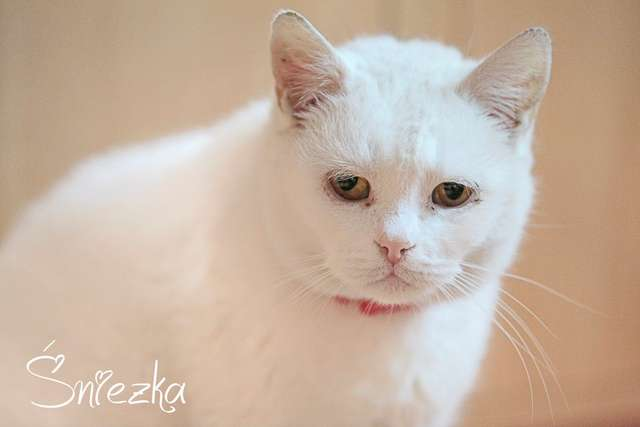 Kotka Śnieżka - full image