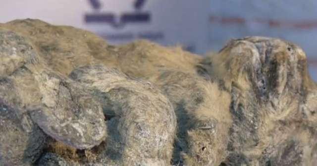 Zamrożony lew to najlepiej zachowany eksponat znaleziony w tej części Rosji - full image