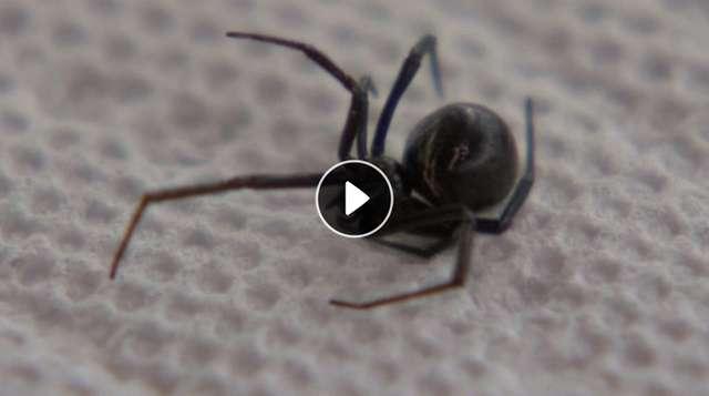 Czarna wdowa w winogronach. Rodzina znalazła zdechłego pająka w zakupach - full image