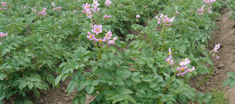 W okresie krytycznym, przypadającym na zawiązywanie się pąków kwiatowych przez okres kwitnienia aż do dojrzewania, rozwijające się bulwy potrzebują większych ilości wody