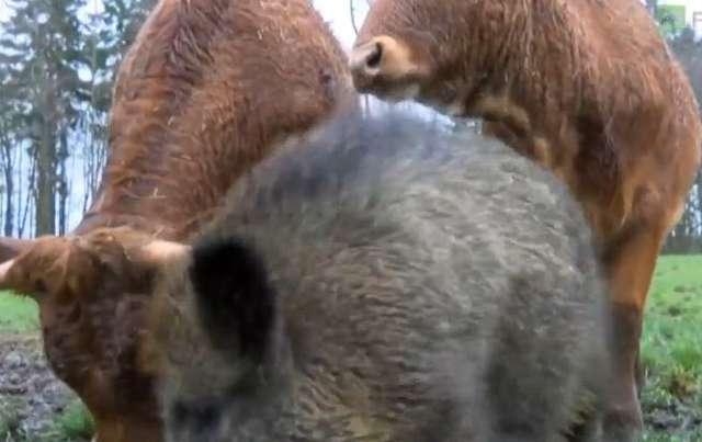 Stado krów zaadoptowało... dzika - full image
