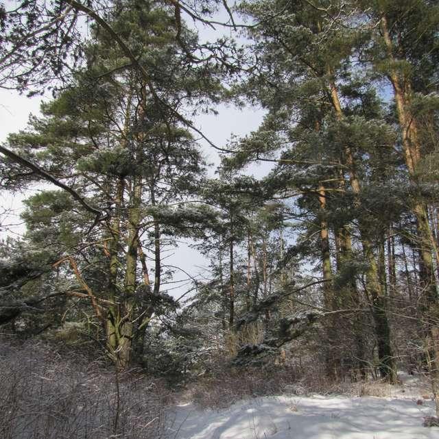 Choinki jeszcze w lesie - full image