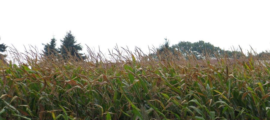 W tym sezonie można było znaleźć pola kukurydzy o pełnym wzroście również z objawami niemal całkowitego bądź częściowego zasychania