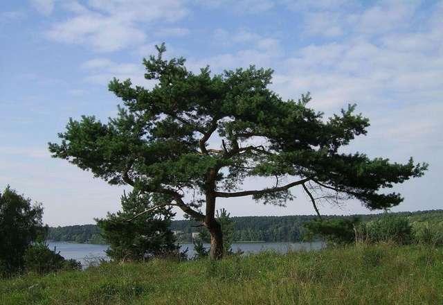 Osobliwe mazurskie drzewa - full image