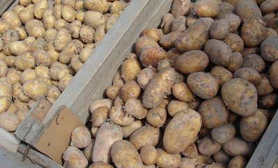 Miniony sezon w uprawie ziemniaka