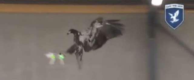 Szkolą orły do polowania na… drony. Nowy pomysł holenderskiej policji - full image