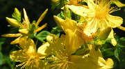 Dziurawiec - antydepresyjne ziółko